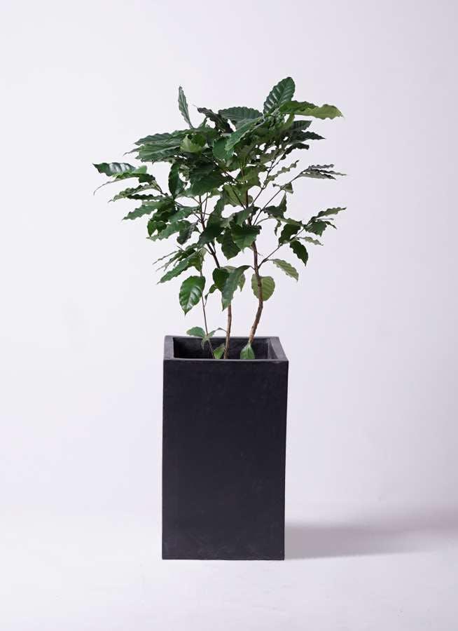 観葉植物 コーヒーの木 8号 セドナロング 墨 付き