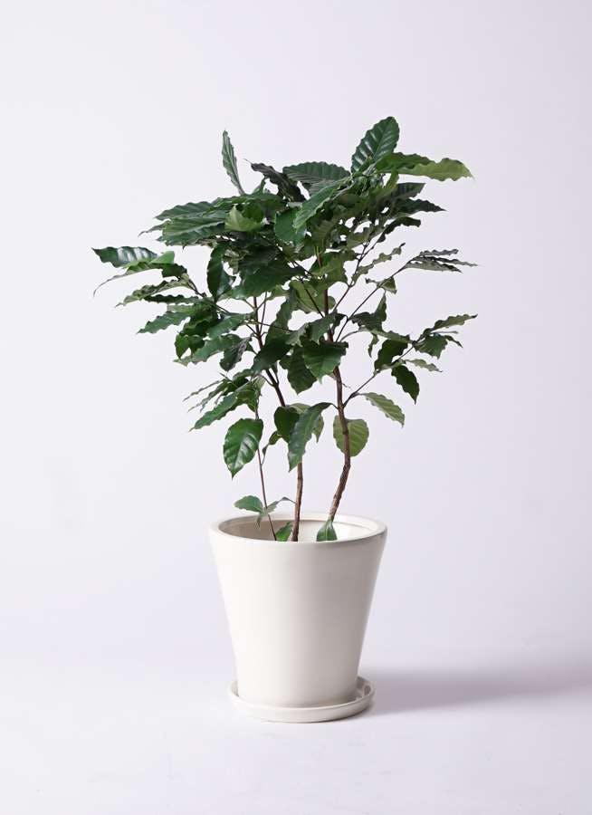 観葉植物 コーヒーの木 8号 サブリナ 白 付き
