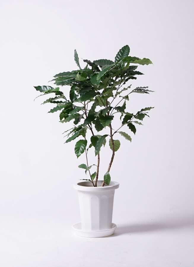 観葉植物 コーヒーの木 8号 プラスチック鉢