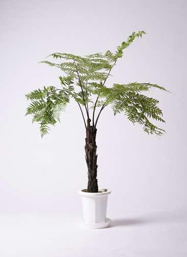 観葉植物 ヘゴ 8号 プラスチック鉢