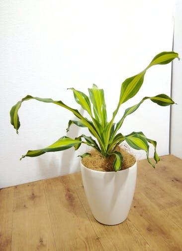 観葉植物 【65cm】ドラセナ 6号 #24774 ラスターポット付き