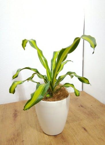 観葉植物 【65cm】ドラセナ 6号 #24775 ラスターポット付き