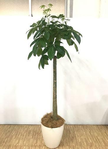 観葉植物 【195cm】 パキラ 10号 #24883 ※関西エリア限定配送