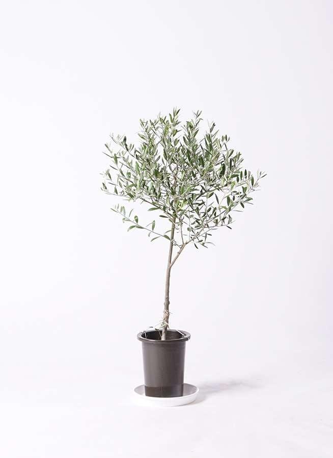 観葉植物 オリーブの木 6号 創樹 プラスチック鉢