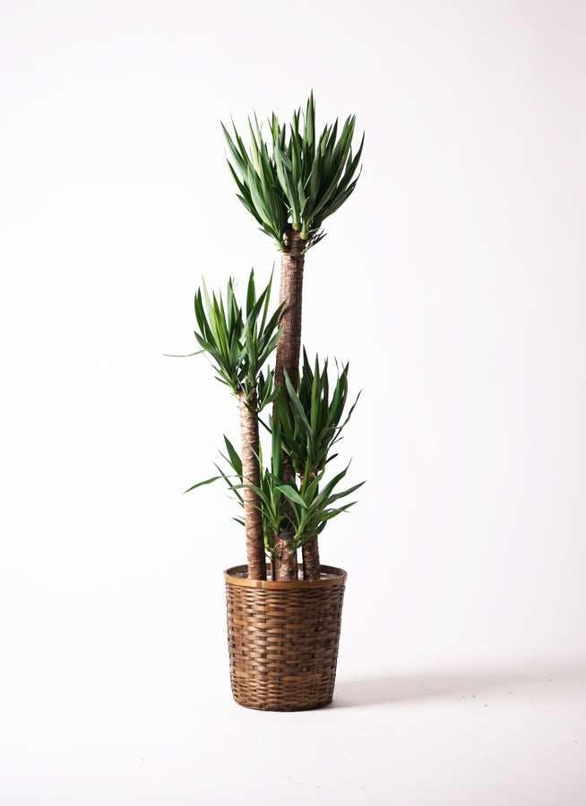 観葉植物 ユッカ 10号 ノーマル 竹バスケット 付き