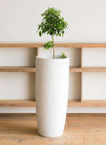 観葉植物 フィカス ナナ 7号 ノーマル エコストーントールタイプ white 付き