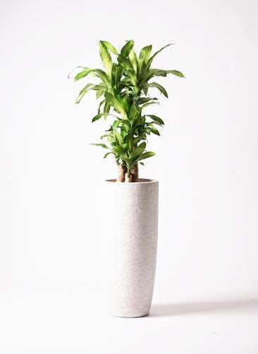 観葉植物 ドラセナ 幸福の木 8号 ノーマル エコストーントールタイプ white 付き