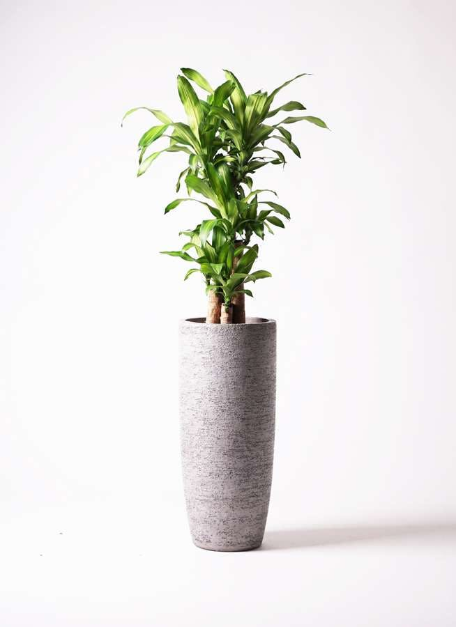 観葉植物 ドラセナ 幸福の木 8号 ノーマル エコストーントールタイプ Gray 付き