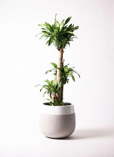 観葉植物 ドラセナ 幸福の木 10号 ノーマル ファイバーストーン タウルス ミドル 白 付き
