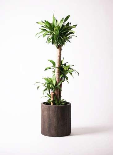 観葉植物 ドラセナ 幸福の木 10号 ノーマル アルファシリンダープランター 付き