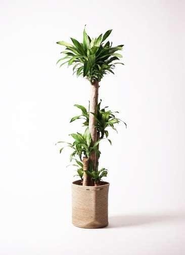 観葉植物 ドラセナ 幸福の木 10号 ノーマル リブバスケットNatural 付き
