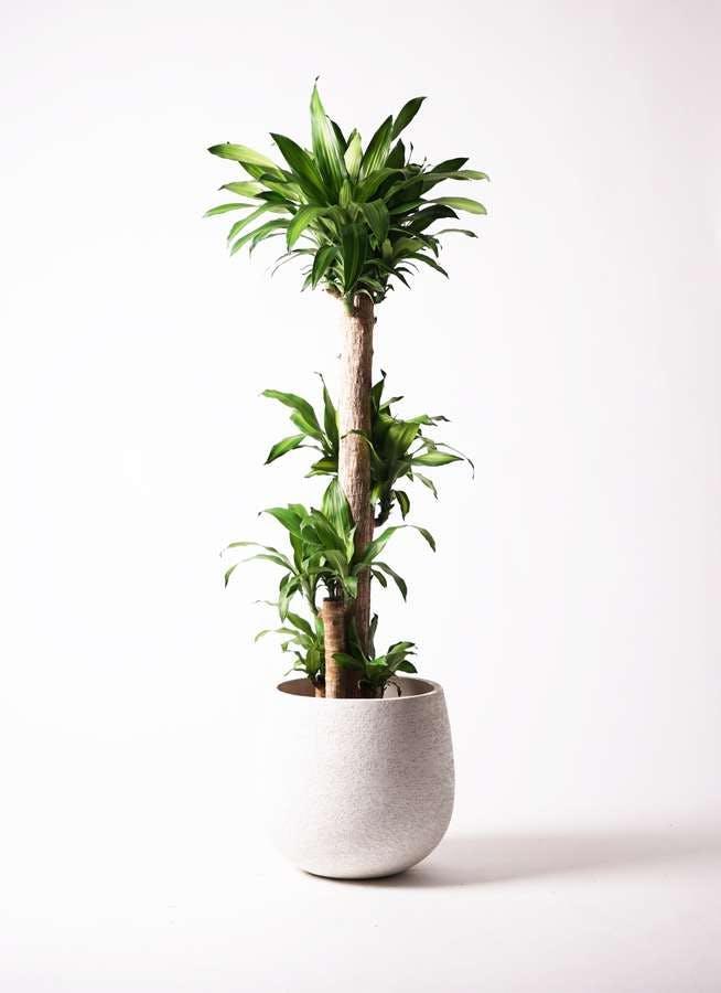 観葉植物 ドラセナ 幸福の木 10号 ノーマル エコストーンwhite 付き