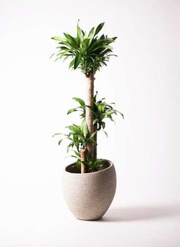観葉植物 ドラセナ 幸福の木 10号 ノーマル エコストーンLight Gray 付き