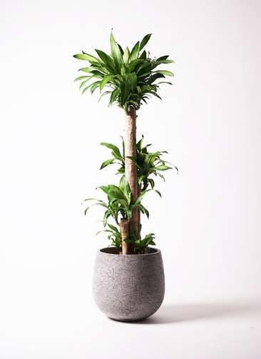 観葉植物 ドラセナ 幸福の木 10号 ノーマル エコストーンGray 付き
