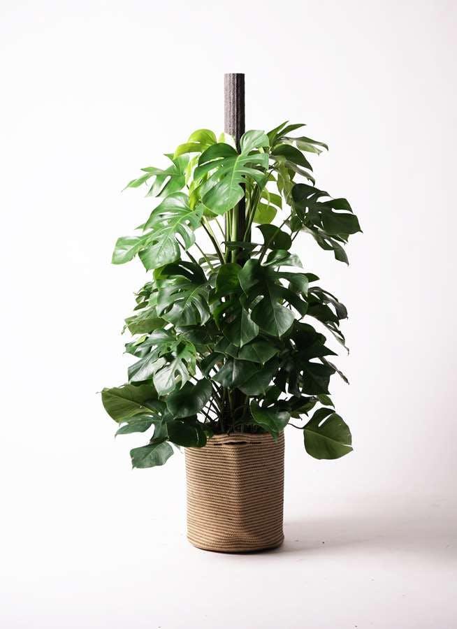 観葉植物 モンステラ 10号 木柱 リブバスケットNatural 付き