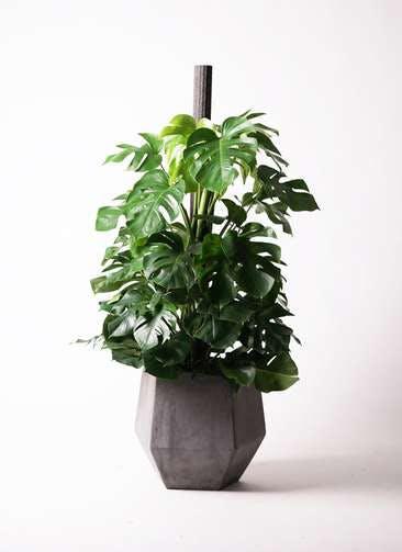 観葉植物 モンステラ 10号 木柱 ファイバークレイGray 付き