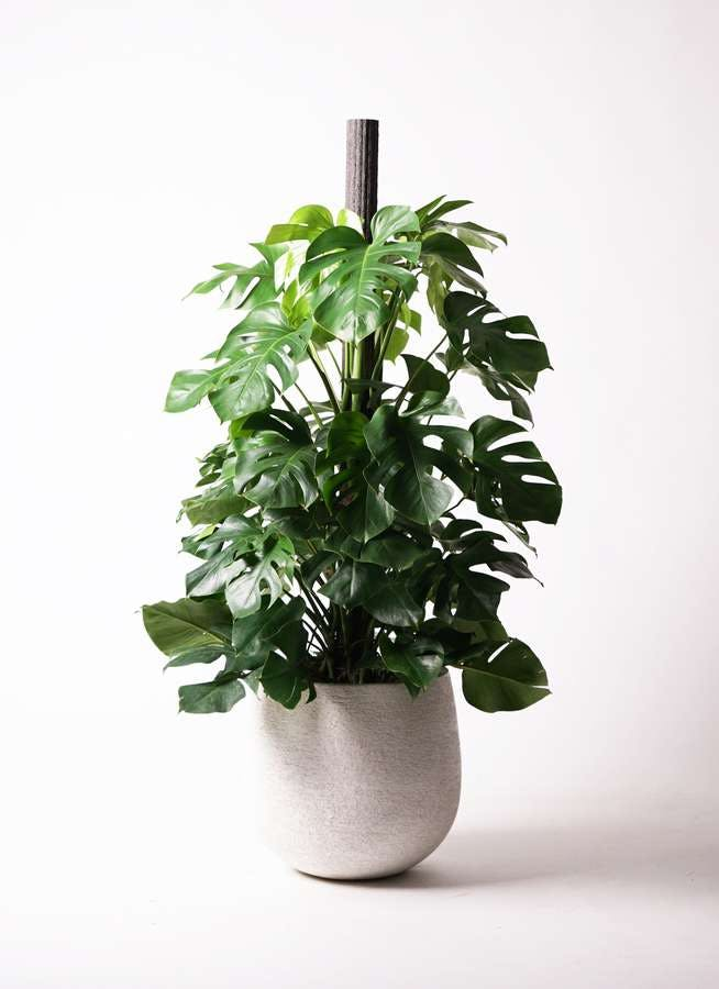 観葉植物 モンステラ 10号 木柱 エコストーンwhite 付き