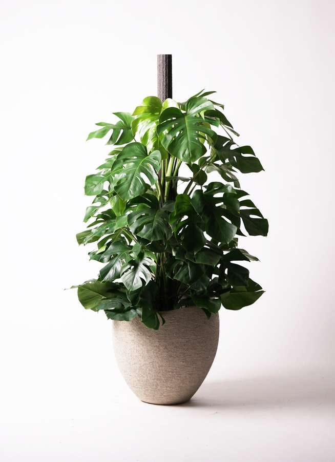 観葉植物 モンステラ 10号 木柱 エコストーンLight Gray 付き