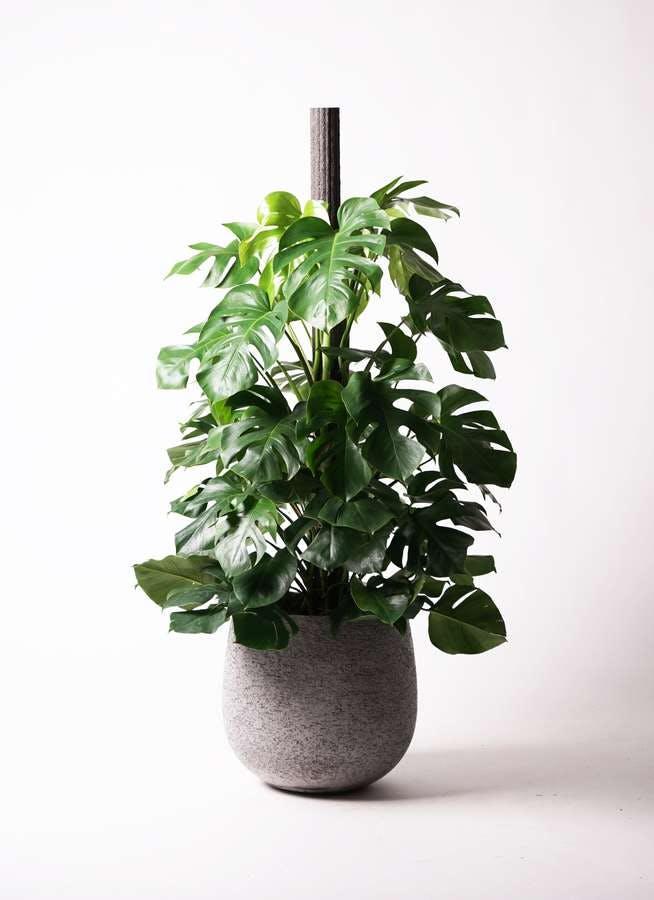観葉植物 モンステラ 10号 木柱 エコストーンGray 付き