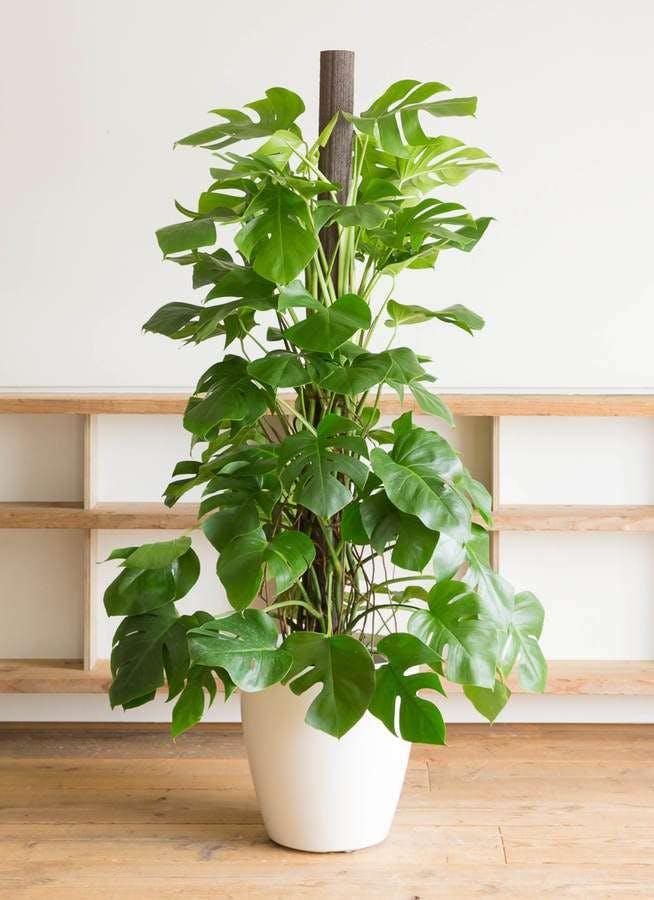 観葉植物 モンステラ 10号 木柱 ラスターポット 付き