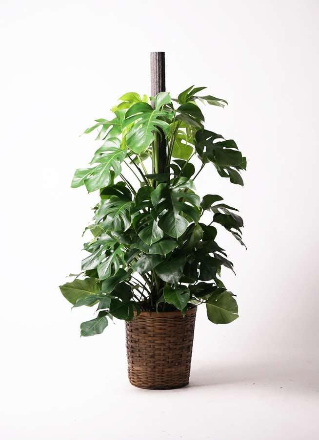 観葉植物 モンステラ 10号 木柱 竹バスケット 付き