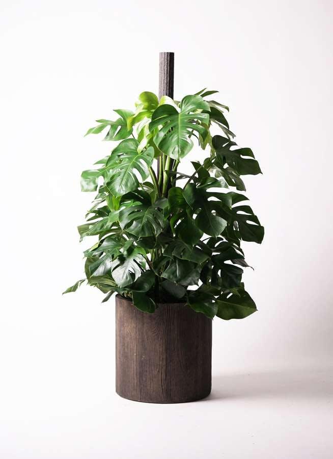 観葉植物 モンステラ 10号 木柱 アルファシリンダープランター 付き