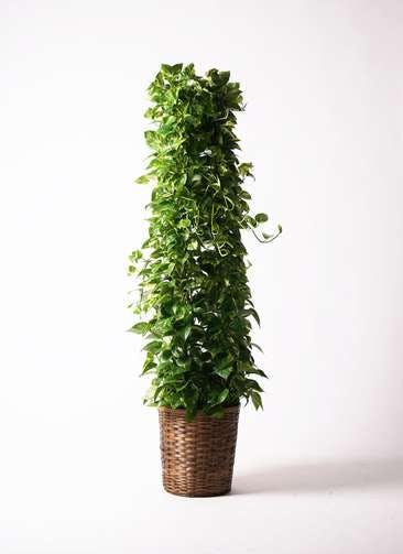 観葉植物 ポトス 10号 竹バスケット 付き