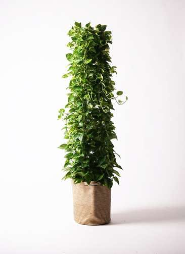 観葉植物 ポトス 10号 リブバスケットNatural 付き