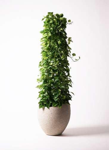 観葉植物 ポトス 10号 エコストーンLight Gray 付き