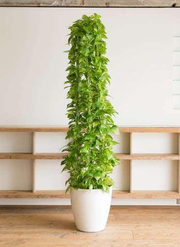 観葉植物 ポトス 10号 ラスターポット 付き