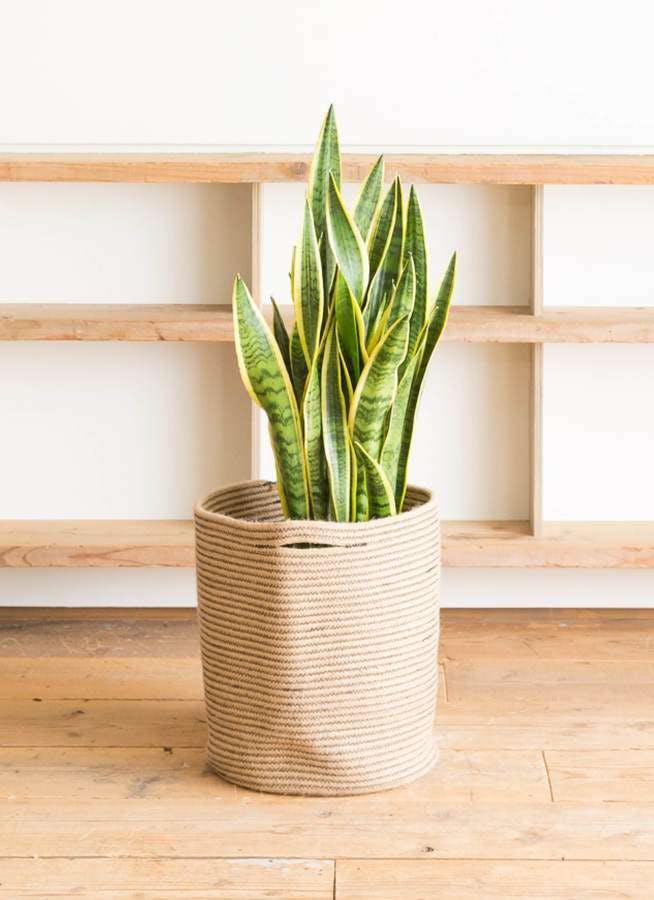 観葉植物 サンスベリア 10号 トラノオ リブバスケットNatural 付き