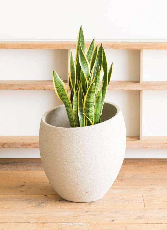 観葉植物 サンスベリア 10号 トラノオ エコストーンLight Gray 付き