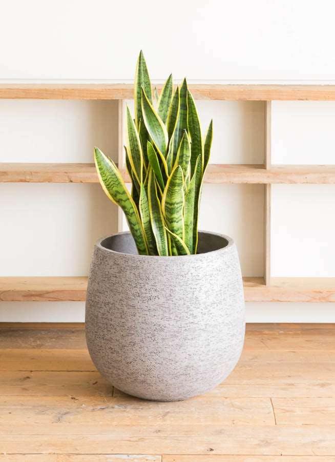 観葉植物 サンスベリア 10号 トラノオ エコストーンGray 付き