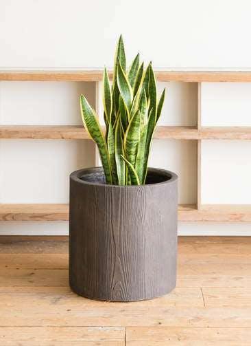 観葉植物 サンスベリア 10号 トラノオ アルファシリンダープランター 付き