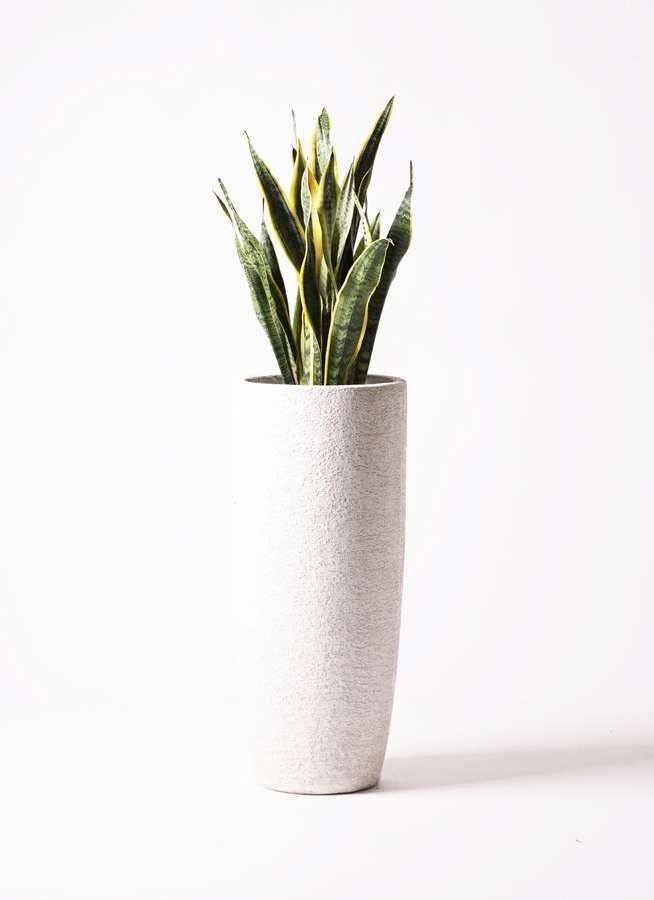 観葉植物 サンスベリア 8号 トラノオ エコストーントールタイプ white 付き