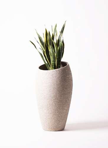観葉植物 サンスベリア 8号 トラノオ エコストーントールタイプ Light Gray 付き