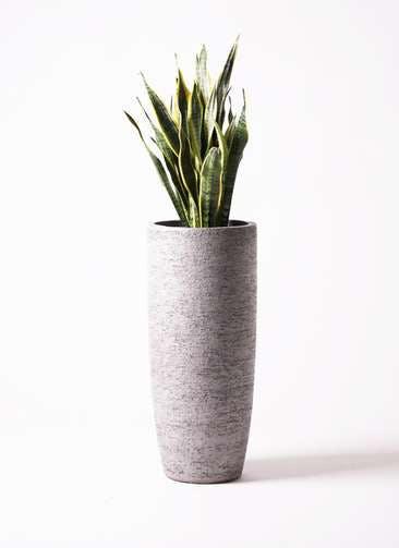 観葉植物 サンスベリア 8号 トラノオ エコストーントールタイプ Gray 付き