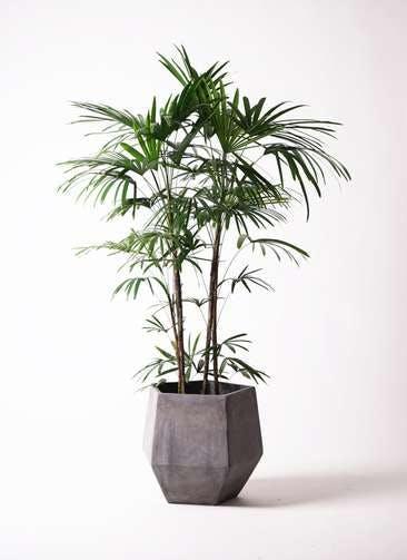 観葉植物 シュロチク(棕櫚竹) 10号 ファイバークレイGray 付き