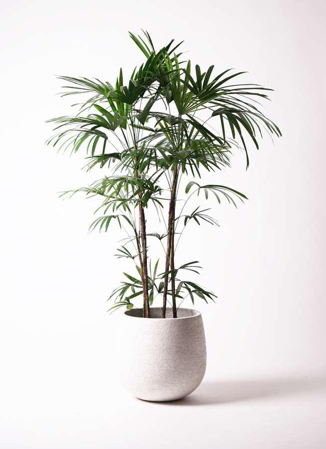 観葉植物 シュロチク(棕櫚竹) 10号 エコストーンwhite 付き
