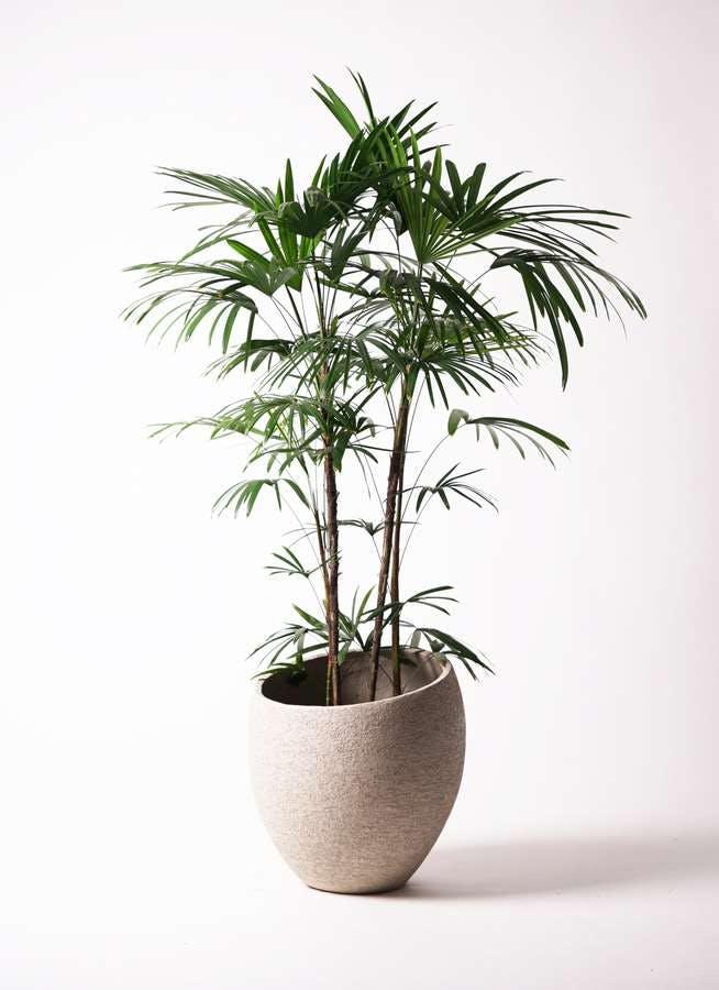 観葉植物 シュロチク(棕櫚竹) 10号 エコストーンLight Gray 付き