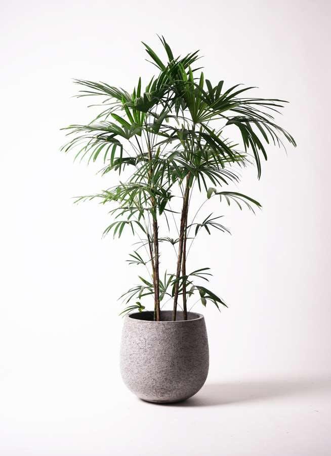 観葉植物 シュロチク(棕櫚竹) 10号 エコストーンGray 付き
