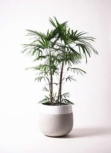観葉植物 シュロチク(棕櫚竹) 10号 ファイバーストーンタウルス ミドル 白 付き