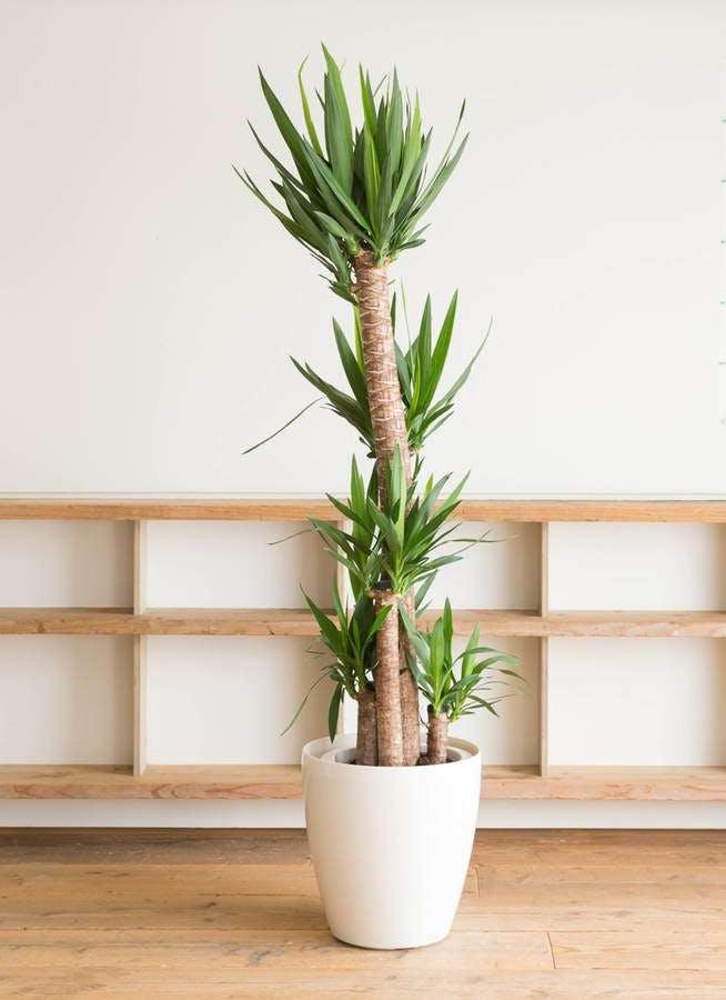 観葉植物 ユッカ 10号 ノーマル ラスターポット 付き