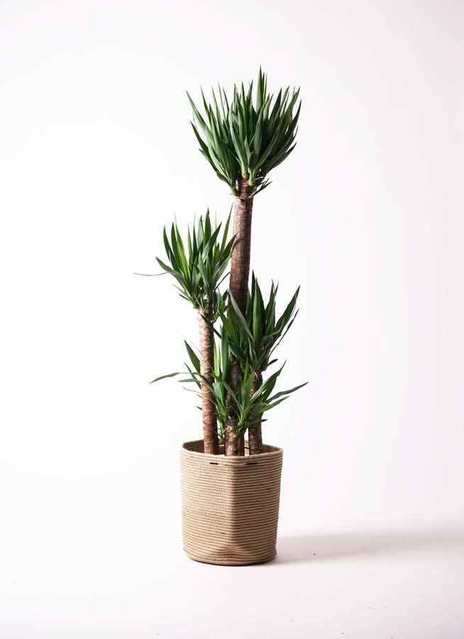 観葉植物 ユッカ 10号 ノーマル リブバスケットNatural 付き