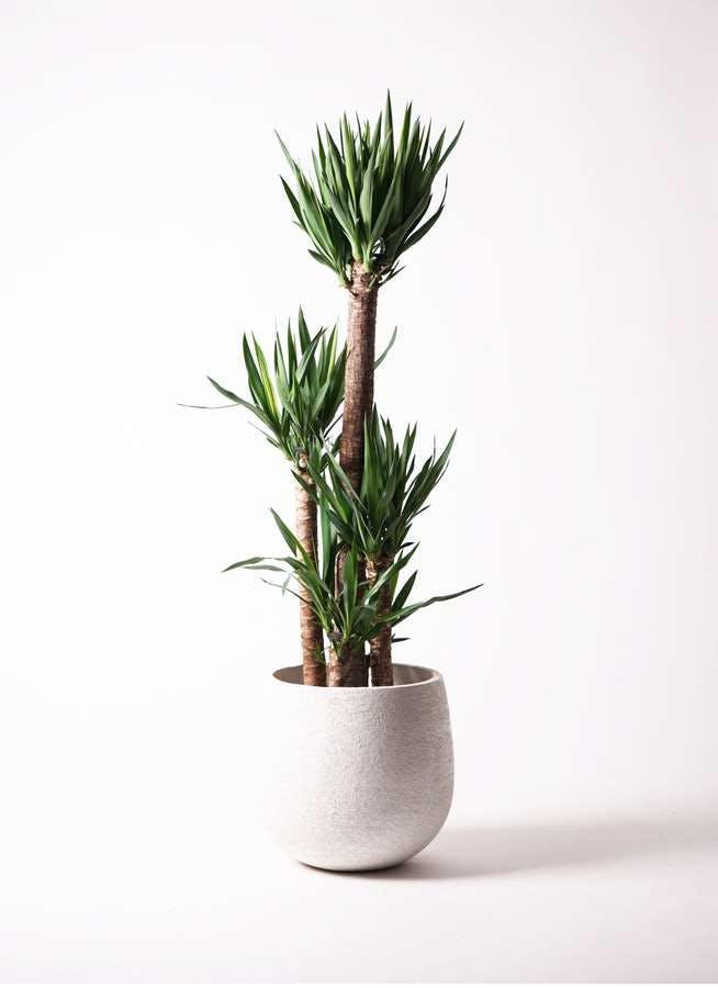 観葉植物 ユッカ 10号 ノーマル エコストーンwhite 付き