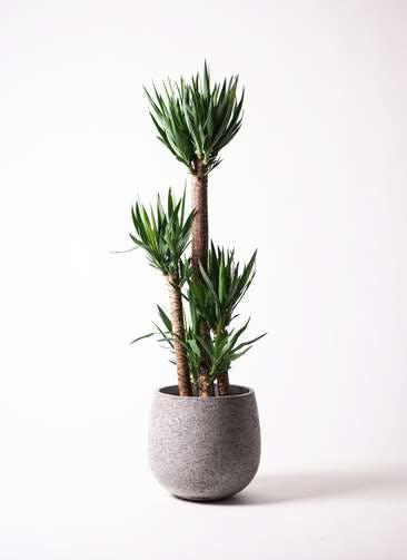 観葉植物 ユッカ 10号 ノーマル エコストーンGray 付き