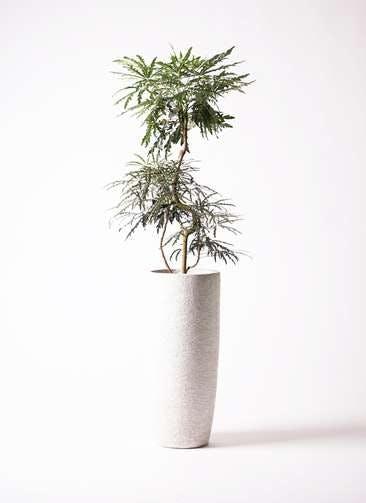 観葉植物 グリーンアラレア 8号 曲り エコストーントールタイプ white 付き