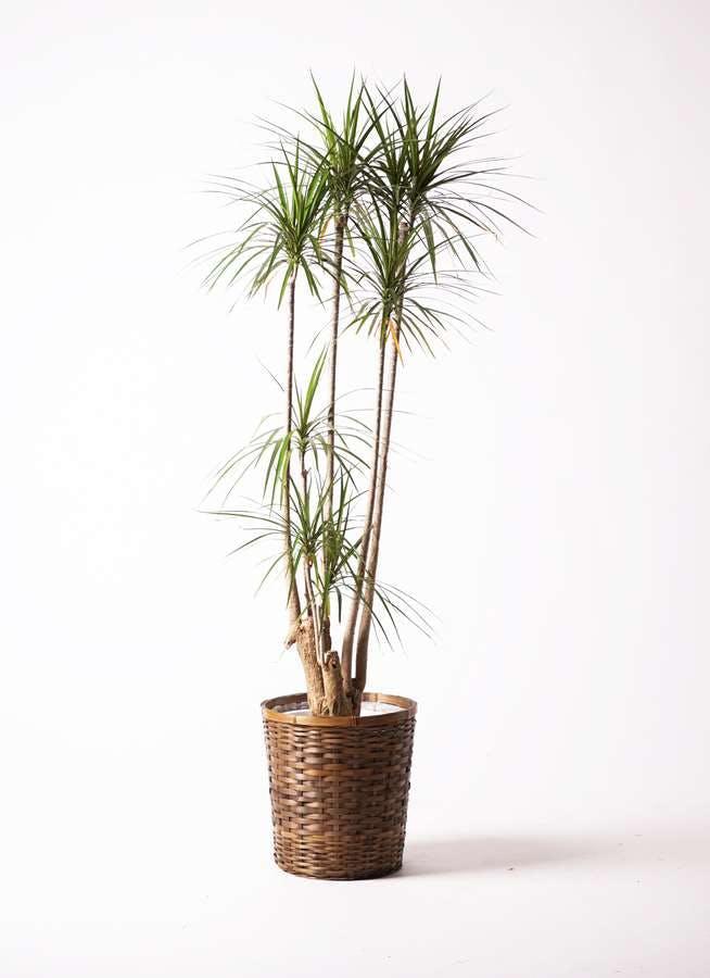 観葉植物 ドラセナ コンシンネ 10号 寄せ 竹バスケット 付き