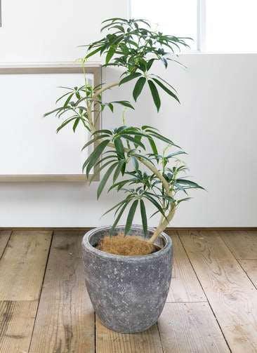 観葉植物 シェフレラ アンガスティフォリア 8号 曲り アビスソニア ミドル 灰 付き
