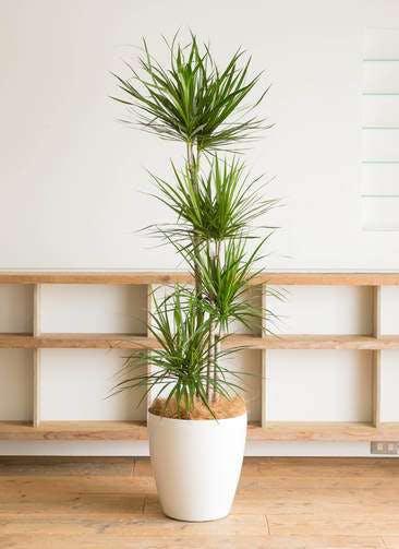 観葉植物 ドラセナ コンシンネ 10号 寄せ ラスターポット 付き